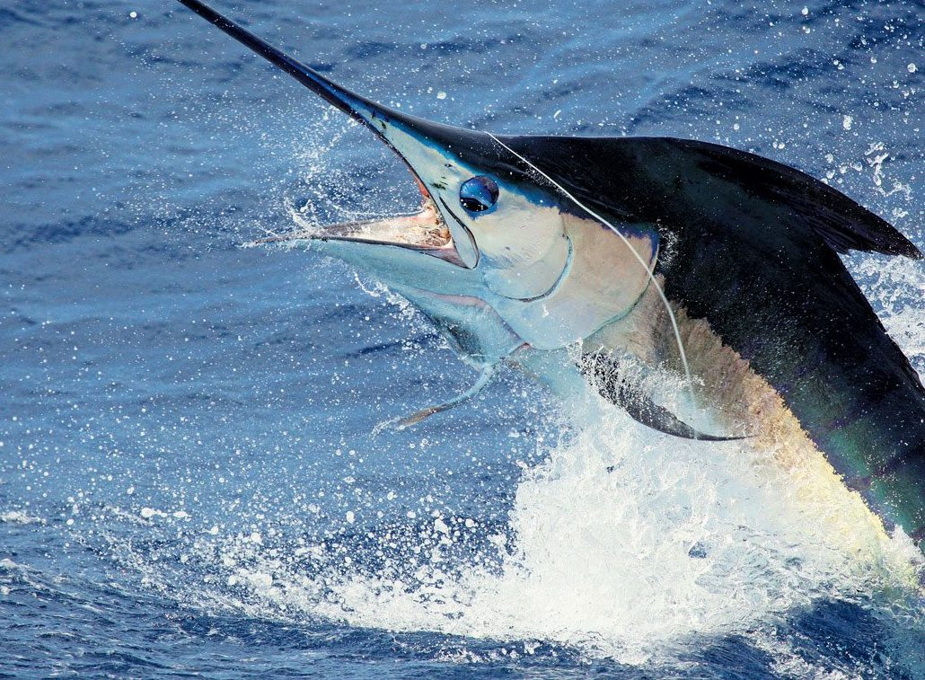 Four hundred pound blue  marlin released by Chad Damron aboard the 75ft Weaver, Sodium, off the North Drop. Photo: Travis Butters
