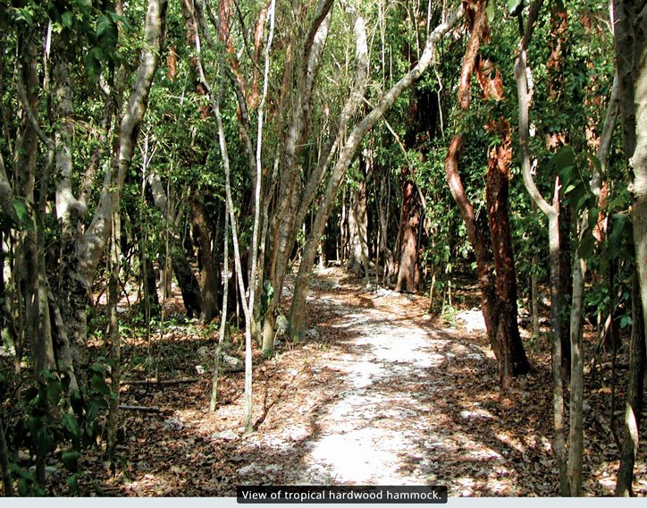View of tropical hardwood hammock. Image courtesy of Windley Key Fossil Reef Geological State Park