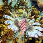 Invasive species such as lionfish are a serious threat to the reef ecosystem. Photos Jane Baum