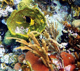 Rock Beauty Angelfish feed primarily on sponges. Photos Jane Baum