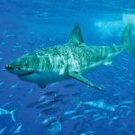Great white shark (Carcharodon carcharias). Photo: Sharkdiver.com/Wikimedia