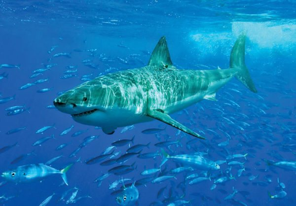 Great white shark (Carcharodon carcharias). Photo: Sharkdiver.com/Wikimedia