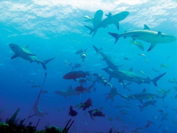 Caribbean reef sharks (Carcharhinus perezii). Photo: Greg Grimes/Wikimedia