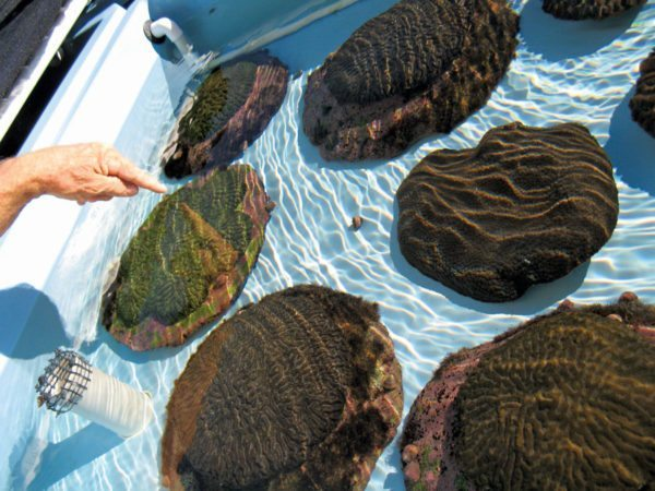 Vaughan points to lab-raised massive corals