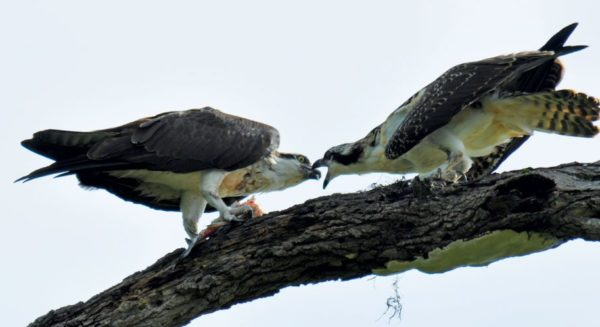 Feeding time – Almost all of the Osprey's diet consists of live fish. Photo: Els Kroon