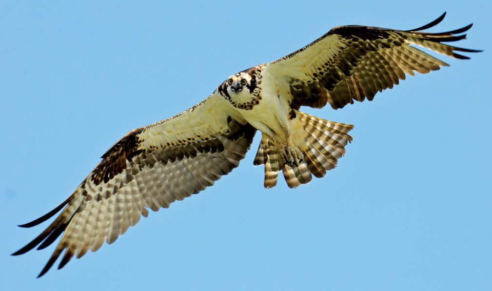 Osprey in flight, Lake Wylie, South Carolina. Photo: Gareth Rasberry/Wikipedia