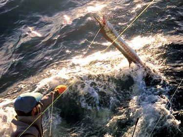 Schneider Trophy winner Jacob Lepera releasing one of his many sailfish in 2016. Leonard Bryant photo