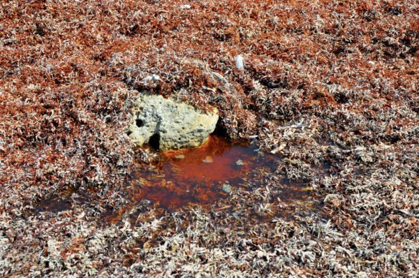 Decomposing sargassum can turn the water into a toxic soup. Photo by Els Kroon