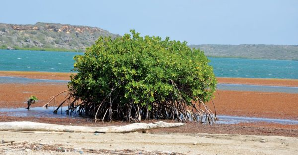 St. Jorisbay, Curaçao - When not removed sargassum could damage mangrove roots. Photo by Els Kroon