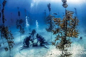 Divers at work in the CRF Coral Tree Nursery