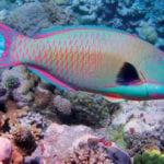 Bicolor parrotfish. Photo: Richard Ling/ Wikipedia