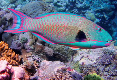 Bicolor parrotfish. Photo: Richard Ling/ Wikipedia