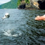 A Tarpon leaps out of the water