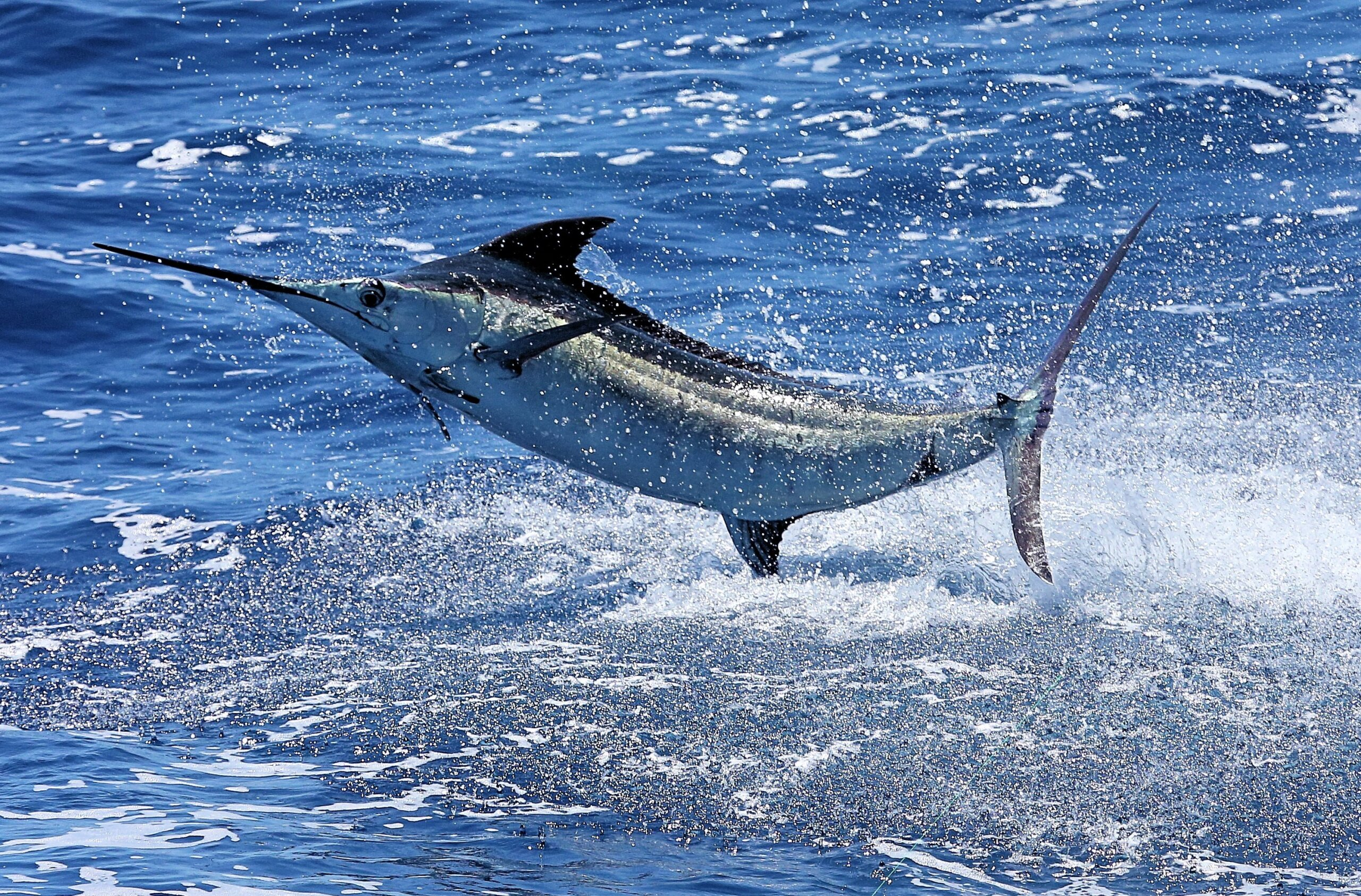 Blue Marlin at Casa de Campo International Blue Marlin Classic
