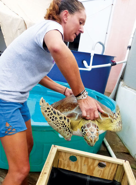 A young green sea turtle will live to swim another day in the wilds of the Caribbean Sea thanks to the collective efforts of several individuals, organizations and even an airline.