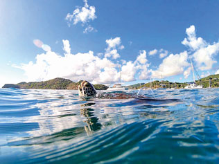 Flappy with Nelson's Dockyard in the Background. Credit The Antigua Sea Turtle Project