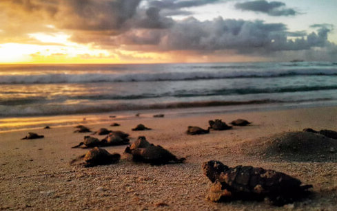 Hatchlings in Barbados. Credit Carla Daniel