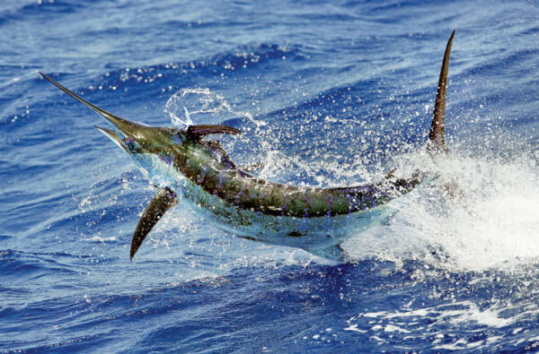 Fishing in the Caribbean: What's Biting Where & When Photo: Richard Gibson