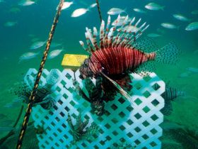 Lion Fish Gittings trap deployed. Alex Fogg