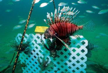 Lion Fish Gittings trap deployed. Alex Fogg