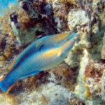 Island-based fishery management plans afford extra protection for reef herbivores, such as the princess parrotfish pictured here. Photo: the National Oceanic and Atmospheric Administration
