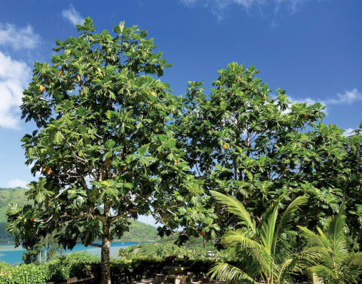 Breadfruit tree. Photo by Birgit Hackl and Christian Feldbauer