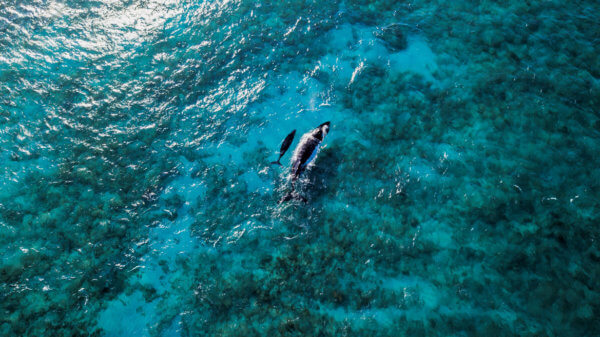 Humpback Whales in Culebra. Credit Discover Puerto Rico